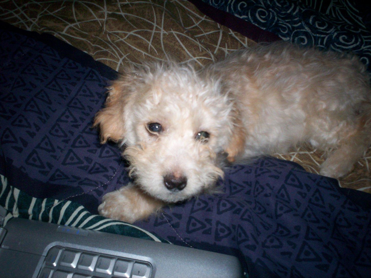 Terrier poodle