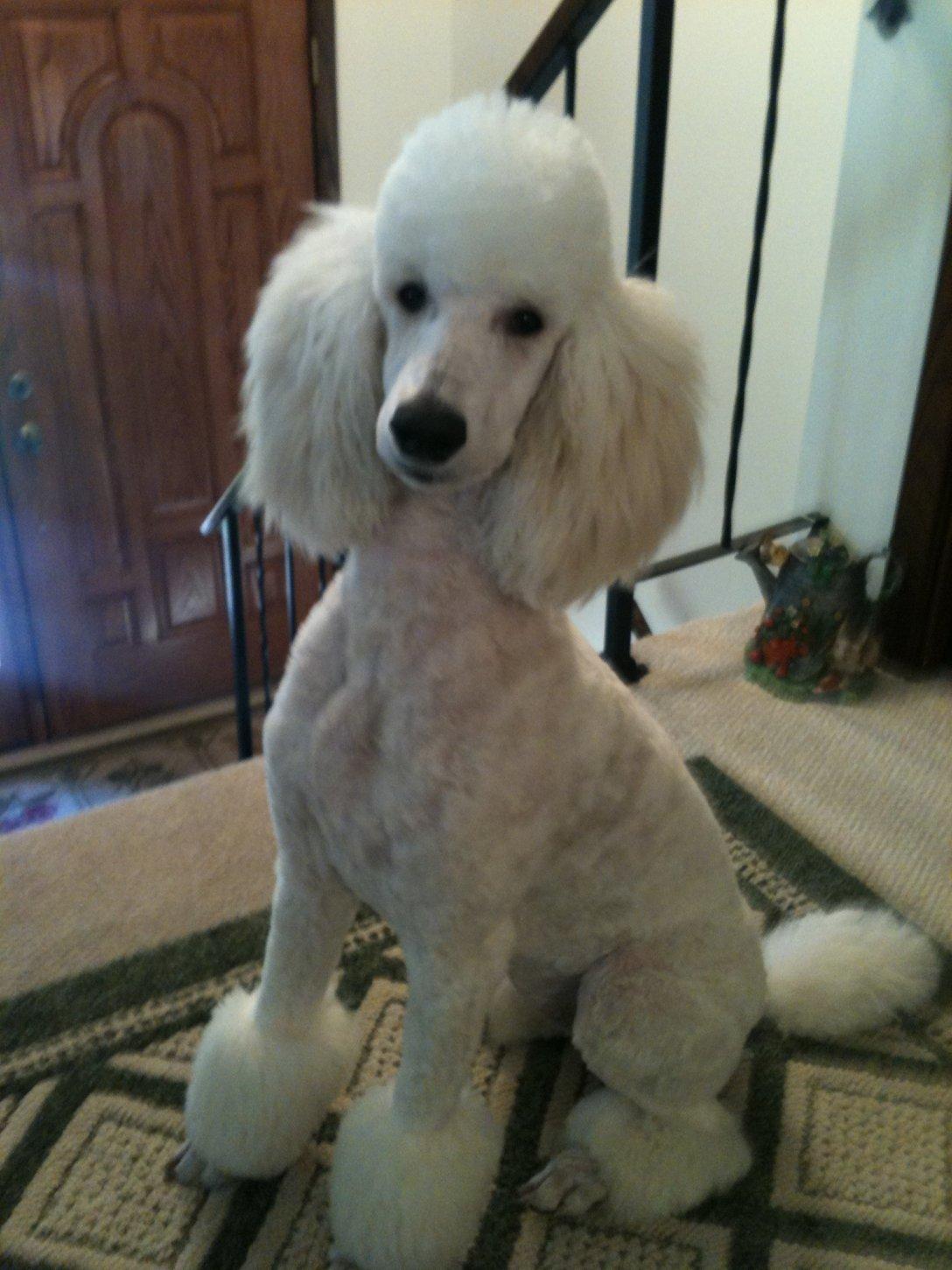 ... Poodle Forum - Standard Poodle, Toy Poodle, Miniature Poodle Forum ALL
