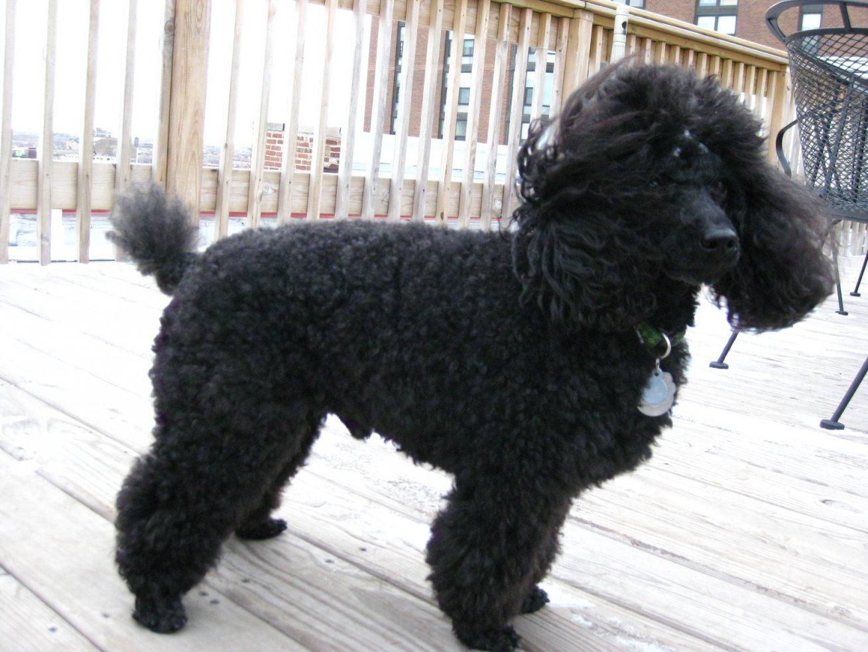 Standard Poodle Hair Cuts