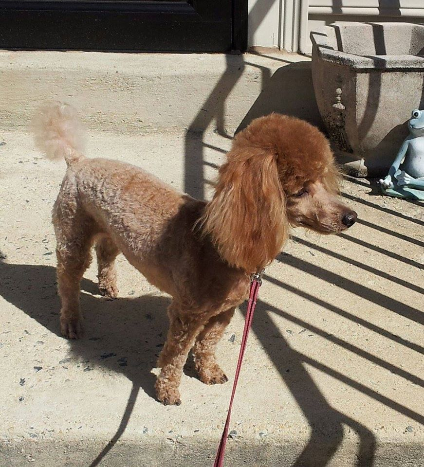Poodle Weight Toy poodle size/weight...