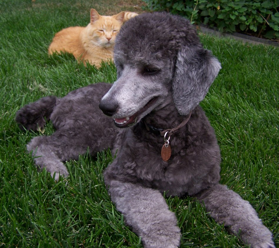 Charleys 2nd Haircut Poodle Forum Standard Poodle Toy Poodle