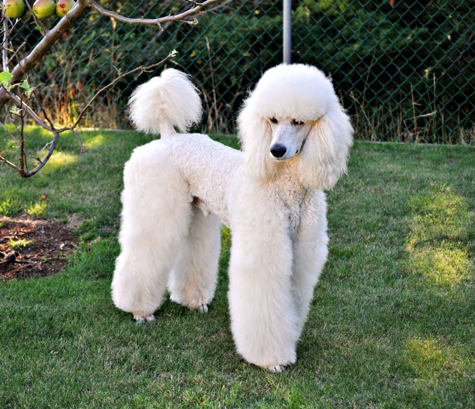 Tall poodle breed