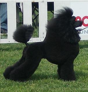 Poodle Cuts / Pictures of different poodle cuts - Poodle Forum