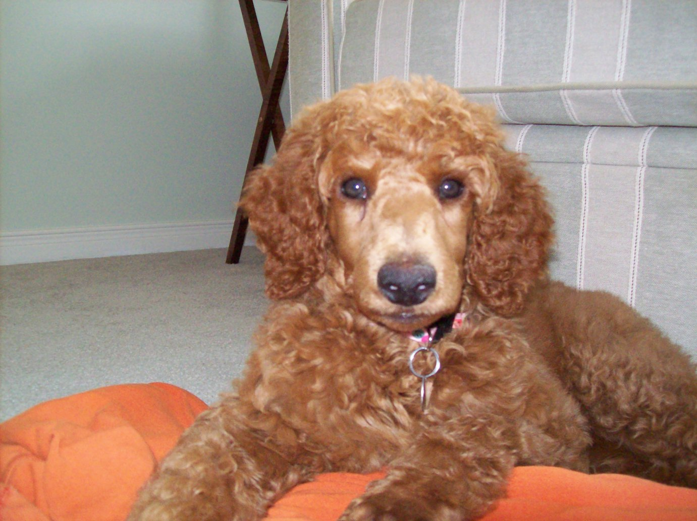 Non-Fading Red Standard Poodles?  fact or fiction?-100_0885.jpg