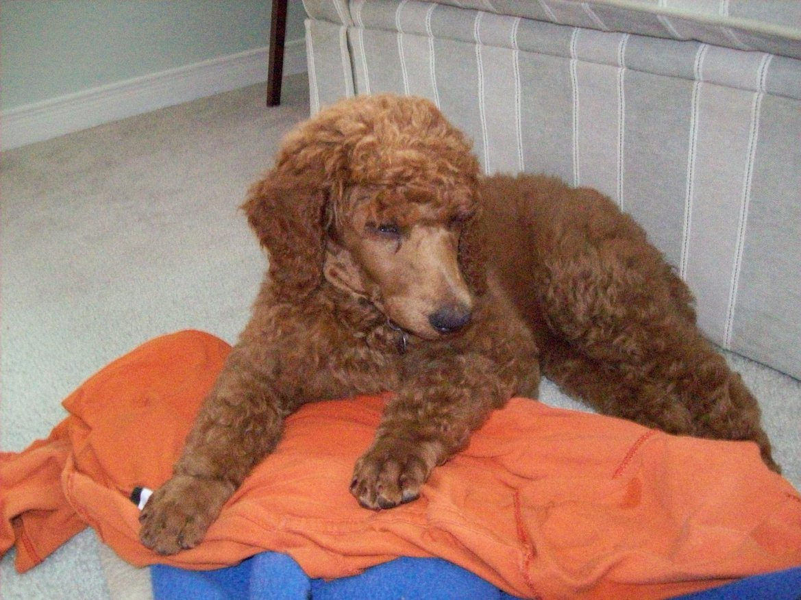 Non-Fading Red Standard Poodles?  fact or fiction?-100_0895.jpg
