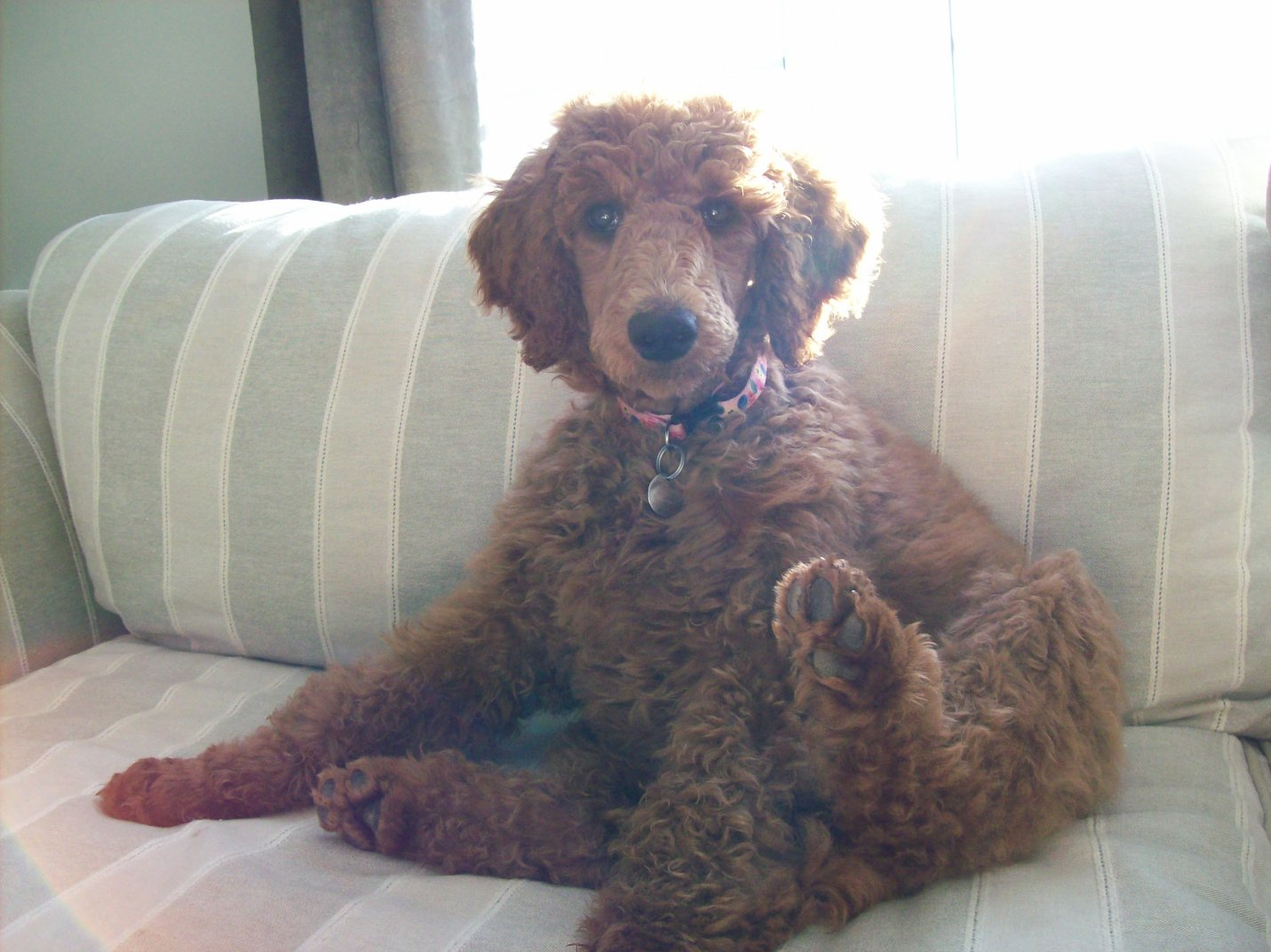 Non-Fading Red Standard Poodles?  fact or fiction?-100_1010.jpg