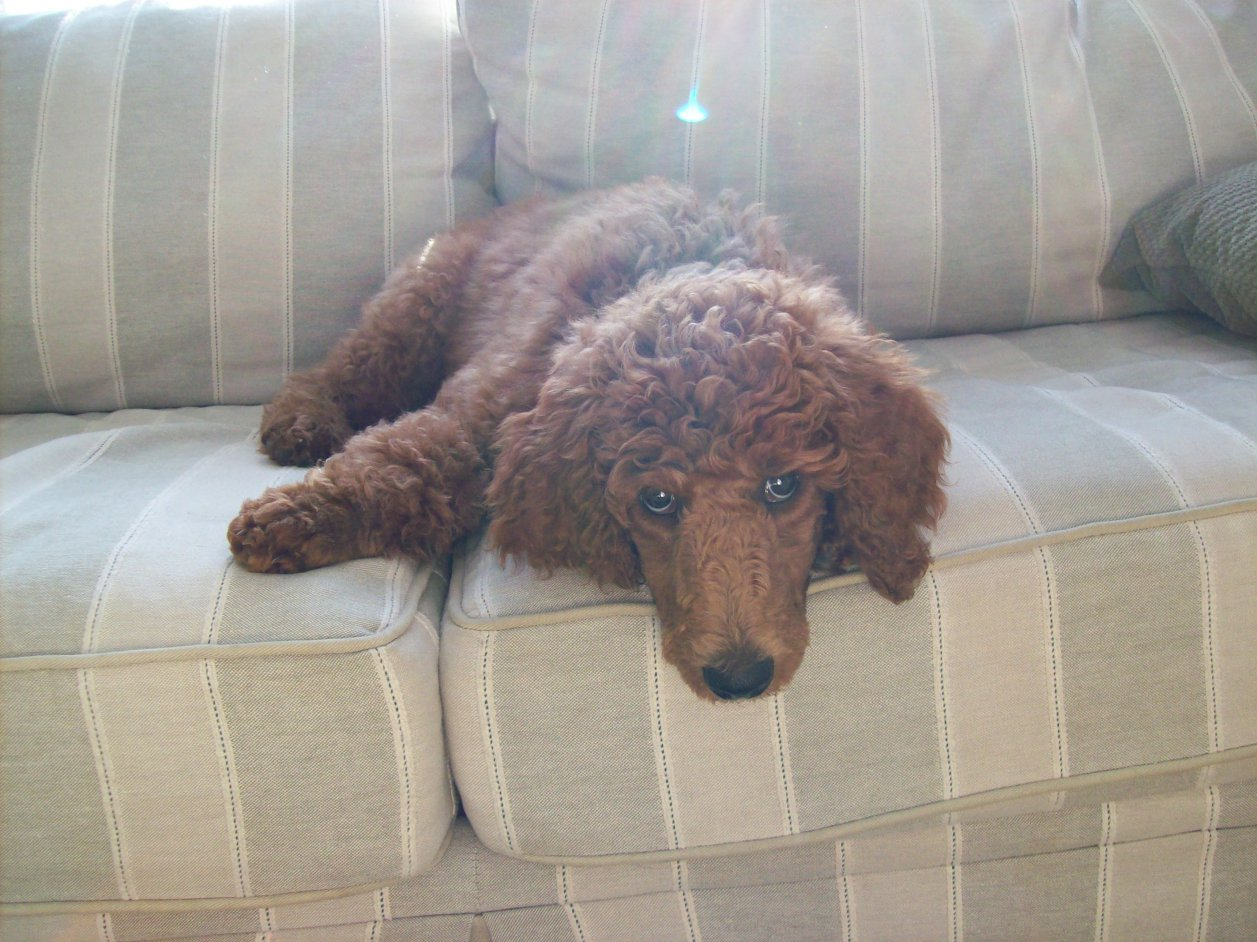 Non-Fading Red Standard Poodles?  fact or fiction?-100_1012.jpg