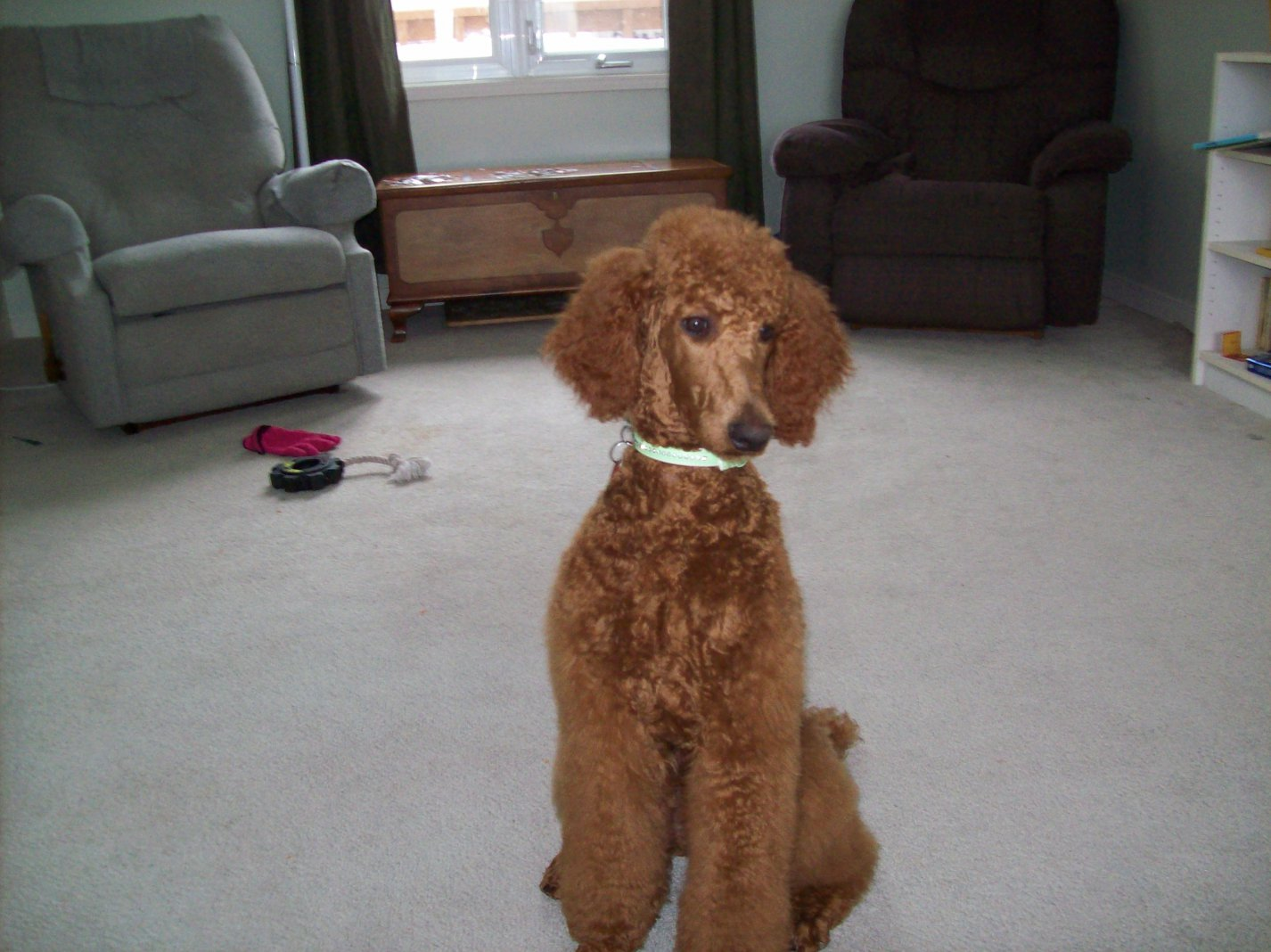 Non-Fading Red Standard Poodles?  fact or fiction?-100_1211.jpg