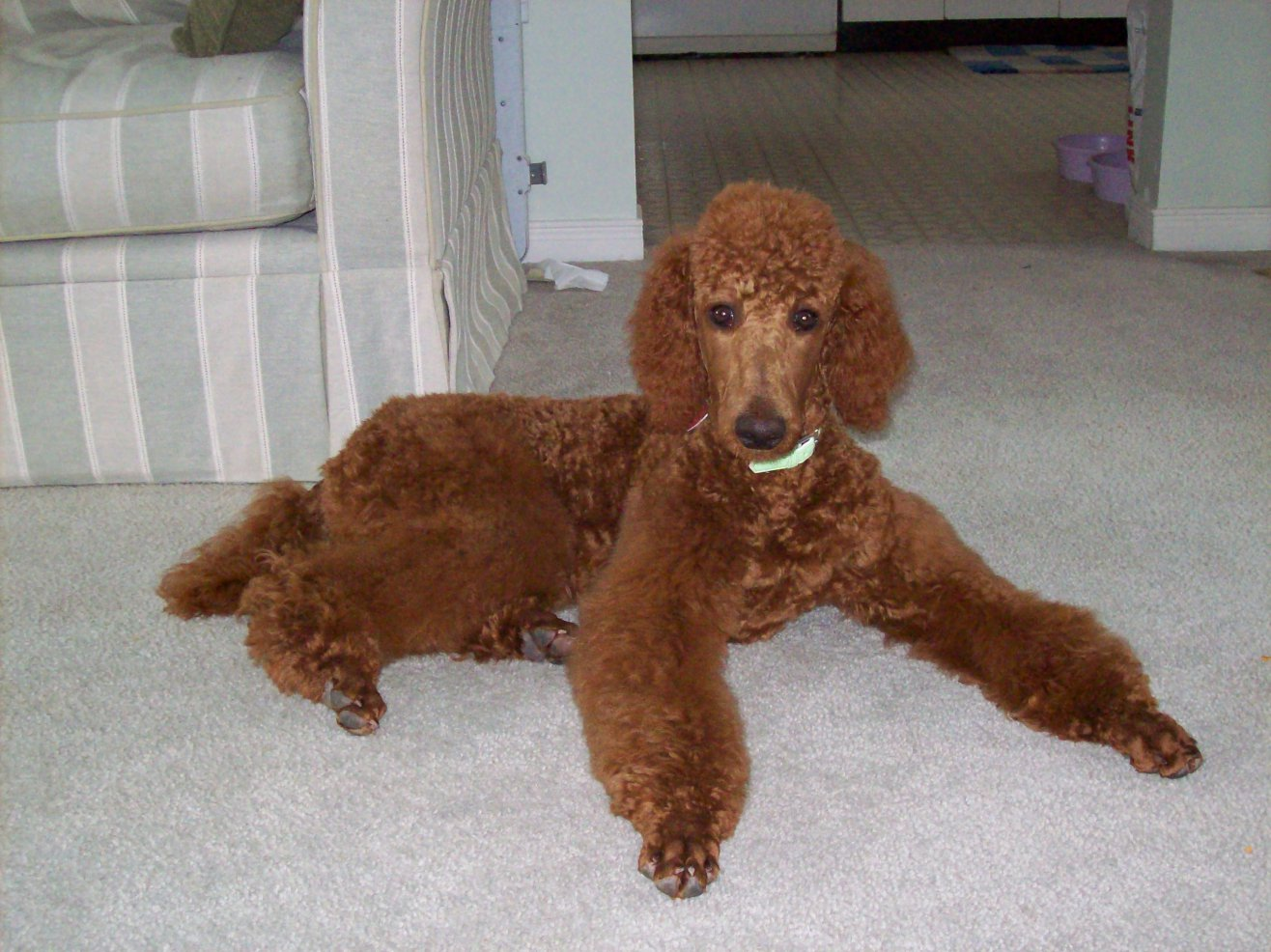 Non-Fading Red Standard Poodles? fact or fiction? - Page 2 - Poodle