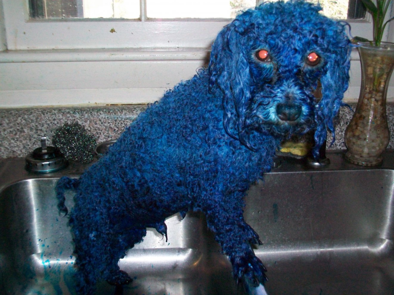 Blue Dyed Standard Poodle How do you dye poodle fur