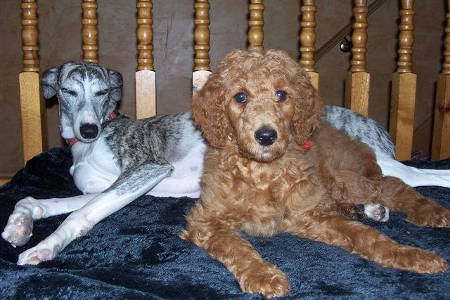 Non-Fading Red Standard Poodles?  fact or fiction?-100_3312.jpg