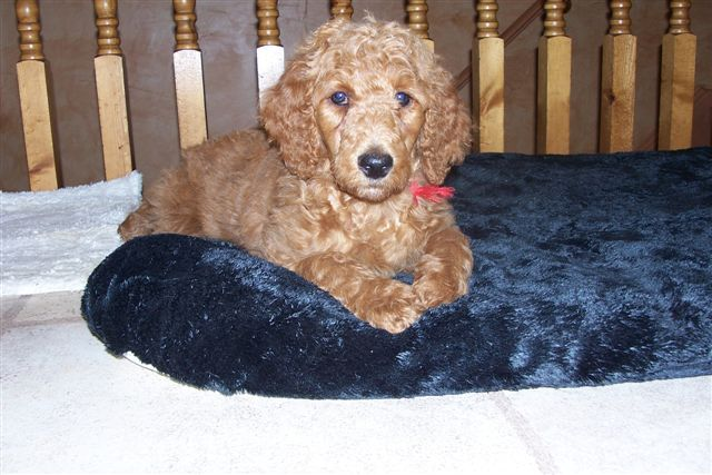 Non-Fading Red Standard Poodles?  fact or fiction?-100_3315.jpg