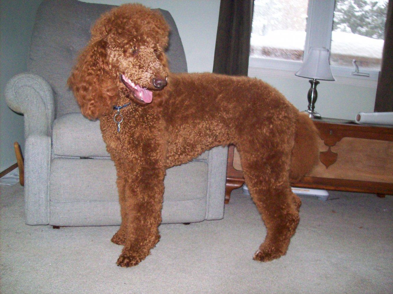 Furry Poodles-100_3565.jpg