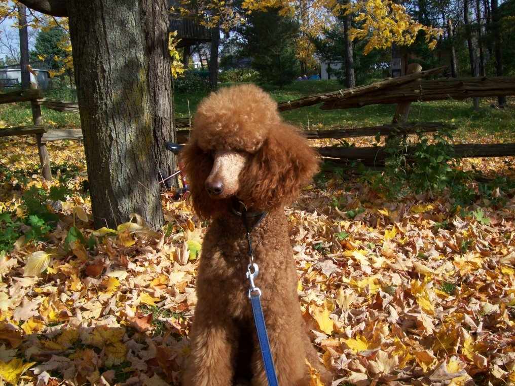 The Red Poodle Thread-100_5397.jpg