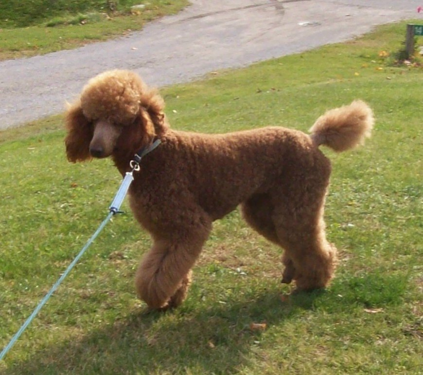 The Red Poodle Thread-100_5451a.jpg