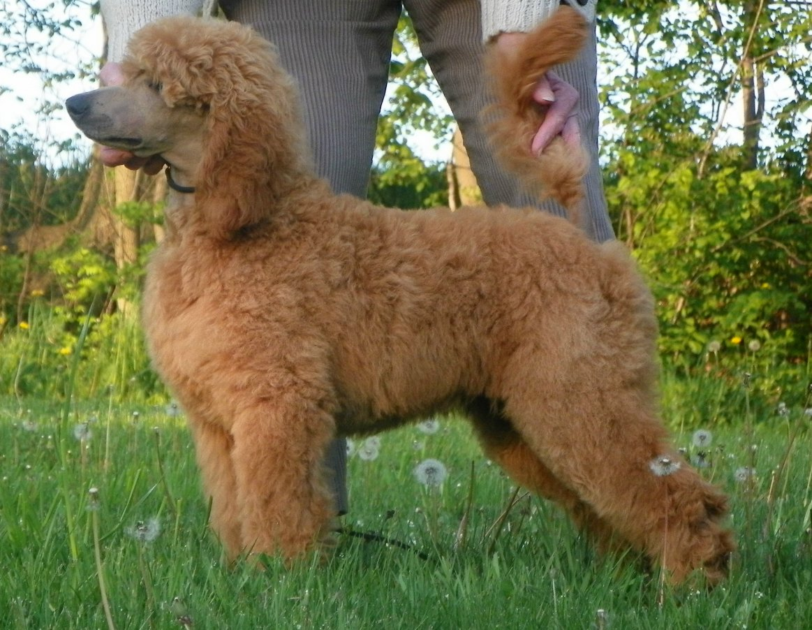 The Red Poodle Thread - Page 6 - Poodle Forum - Standard Poodle, Toy