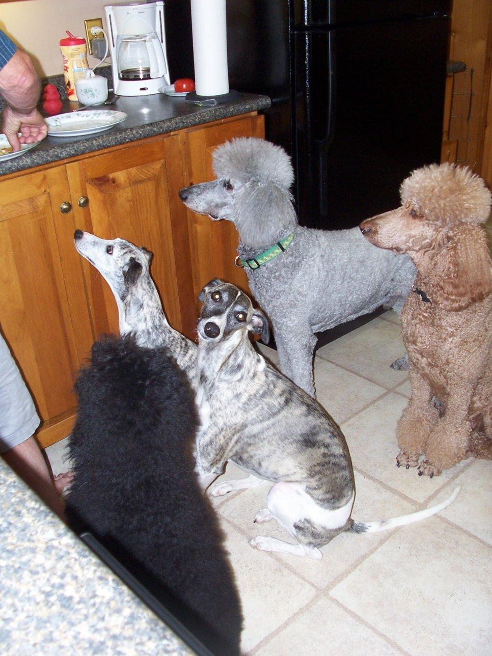 Poodle/Whippet Connection-102_6771.jpg