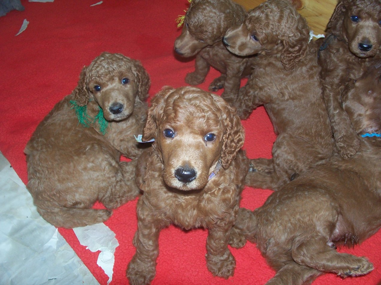 The Red Poodle Thread-102_7690.jpg