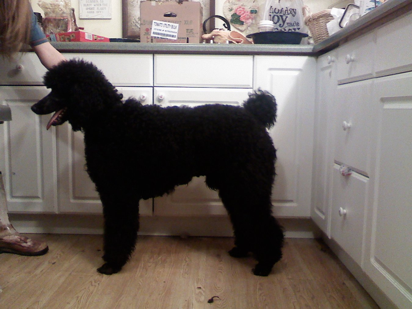 Standard poodle haircuts or of unless soft haircuts standard poodle - 1222001133 Jpg Determining The Best Clip Recommendations
