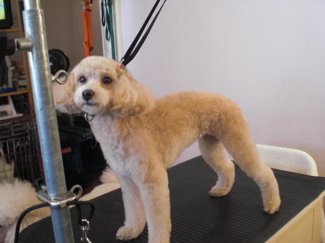 Poodle Short Haircut