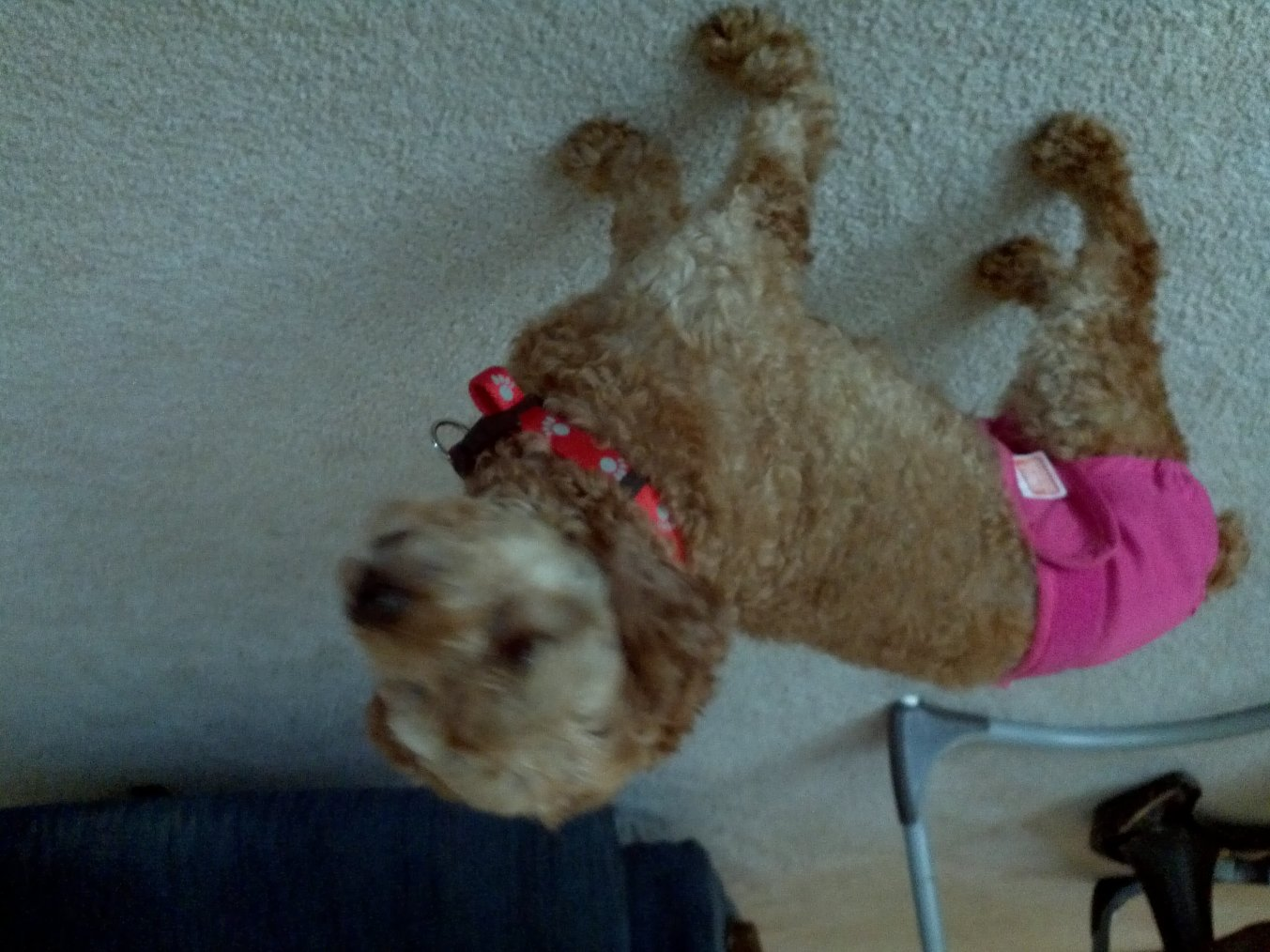 New to poodles/ one handsome boy/one rescue girl-1351951516345.jpg