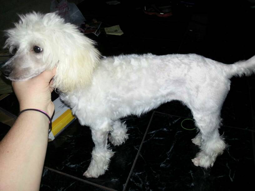 Maltese Poodle Haircuts Image Collections Haircuts For Men And Women