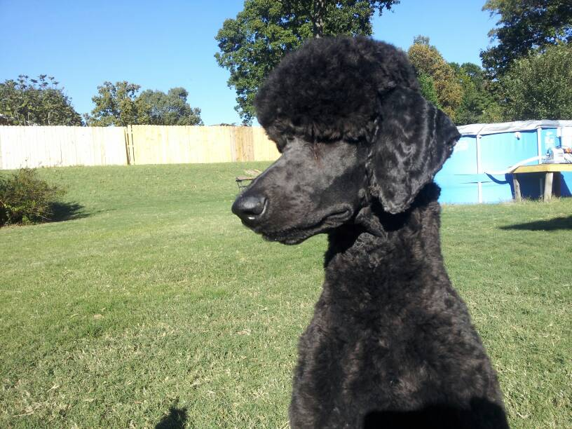 Manly Poodle Cuts Do They Even Exist Poodle Forum Standard