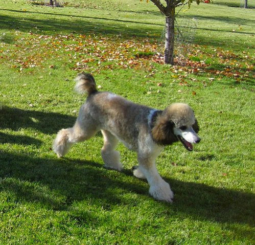 Sablerindle    poodles   Sable Standard Poodle