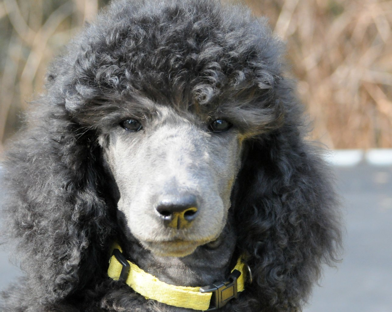 The Silver Poodle Thread - Page 6 - Poodle Forum - Standard Poodle ...