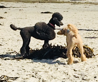 Poodle Day Oct 1 in Carmel--you're invited!-1pdclip.jpg