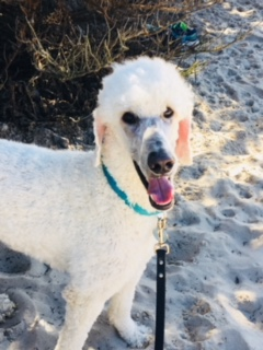 Poodle Day Oct 1 in Carmel--you're invited!-1pdfros.jpg