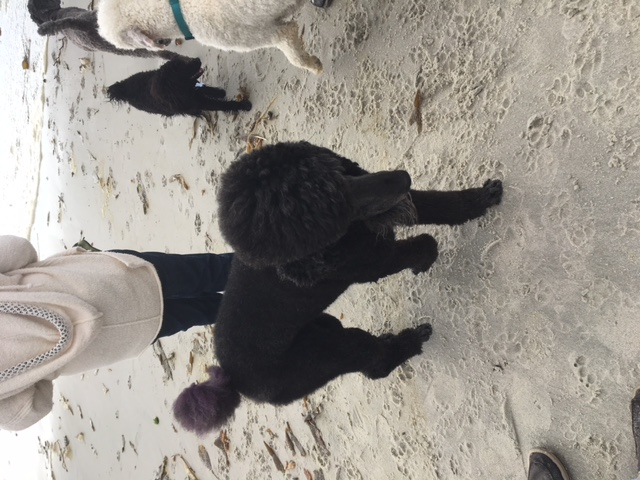 Poodle Day Oct 1 in Carmel--you're invited!-1pdgoatee.jpg