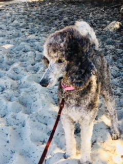 Poodle Day Oct 1 in Carmel--you're invited!-1pdm.jpg