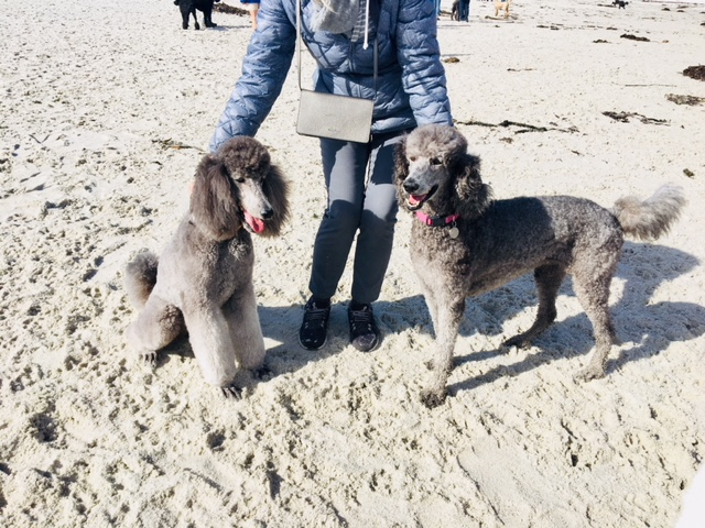 Poodle Day Oct 1 in Carmel--you're invited!-1pdtessie.jpg