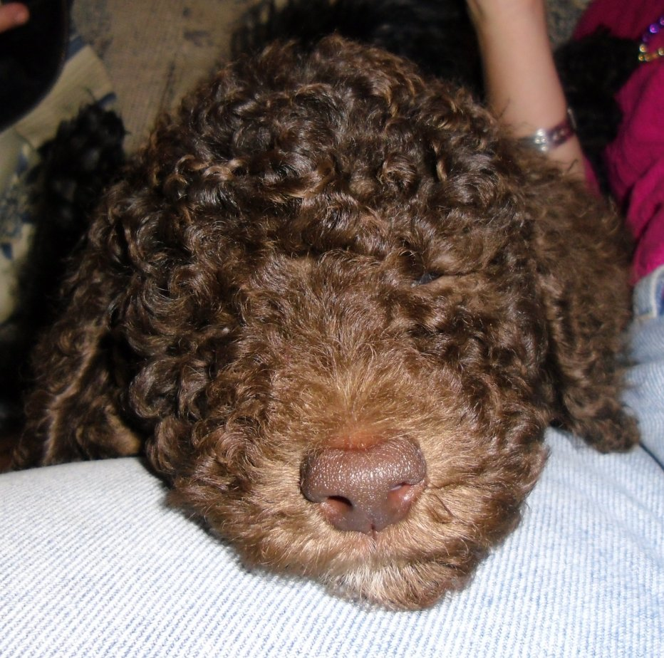 The Brown Poodle