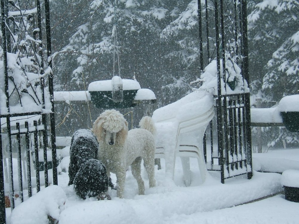 Cold tolerance of poodles-2008_0322springstorm080049.jpg