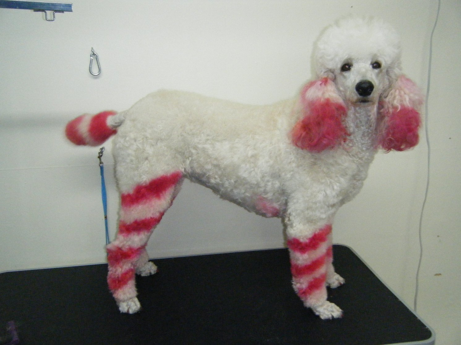 Blue Dyed Standard Poodle Click to enlarge and notice