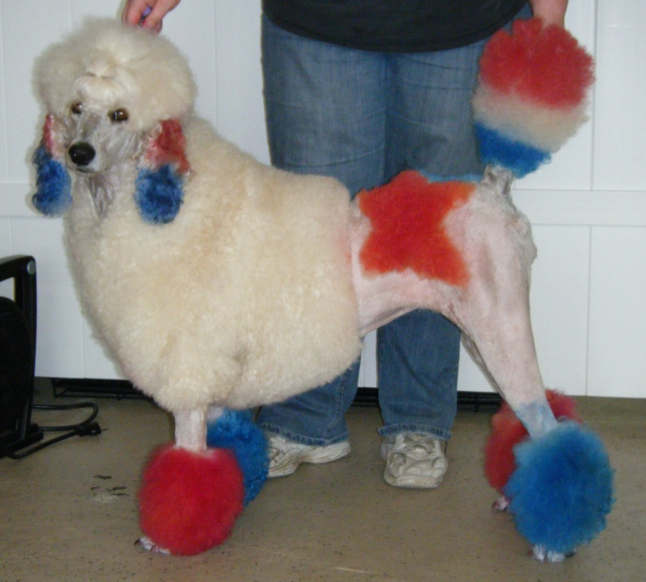 Blue Dyed Standard Poodle in mind with dye AND food
