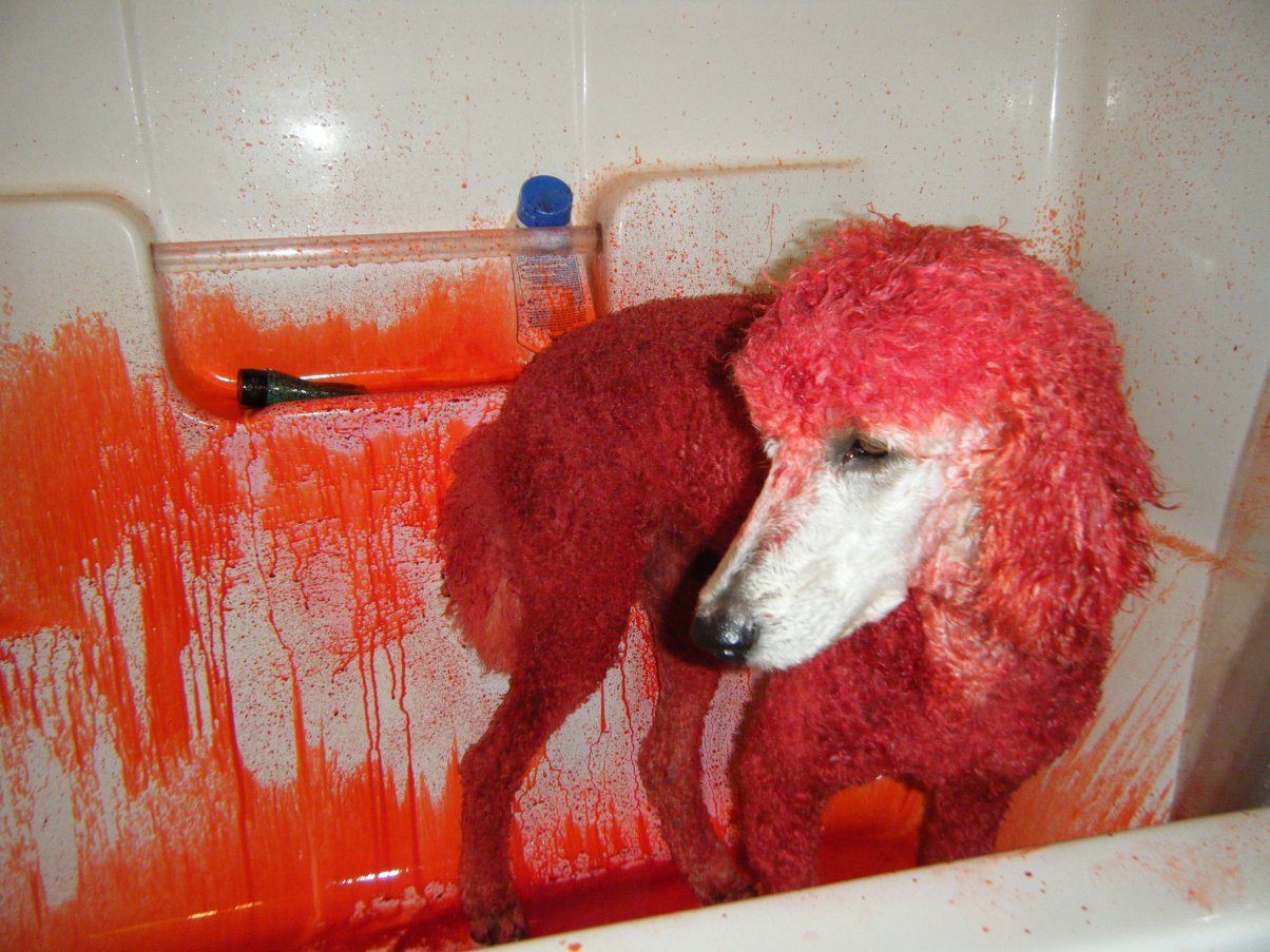 Pink Poodle... Hubby is  furious-2009_1025pinkjazz0007.jpg