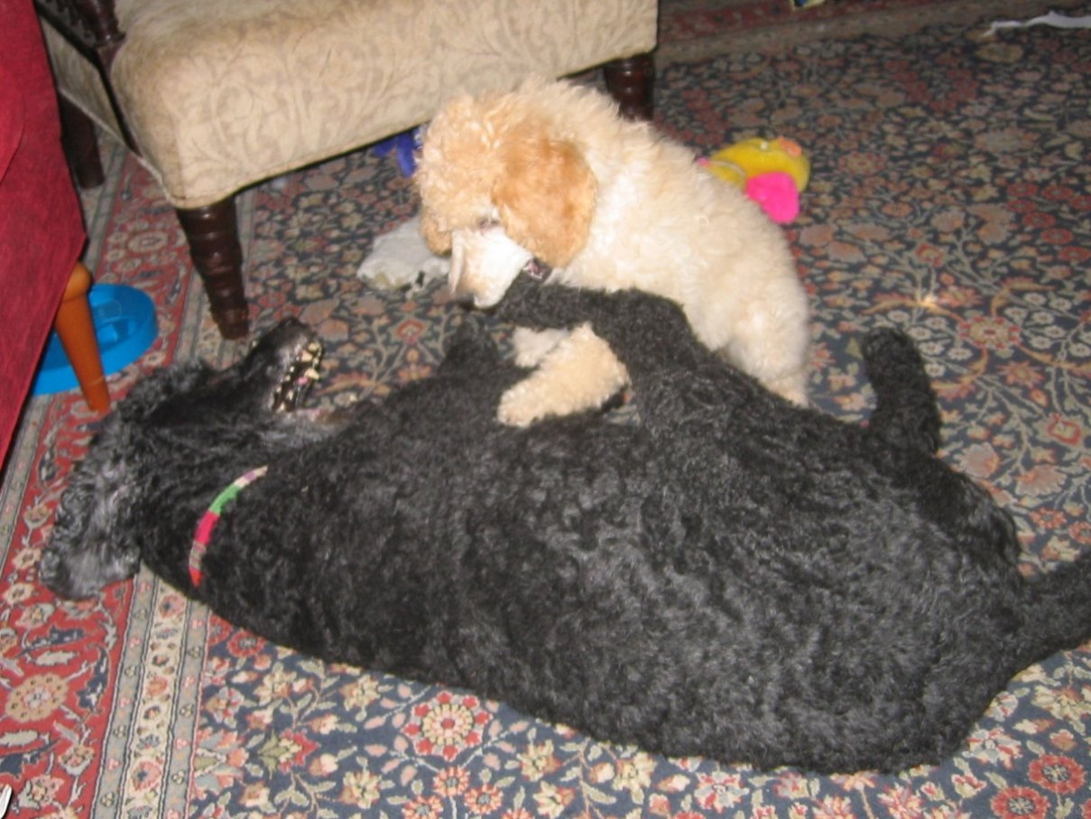 How/when to introduce a new puppy-2011-7-12.jpg