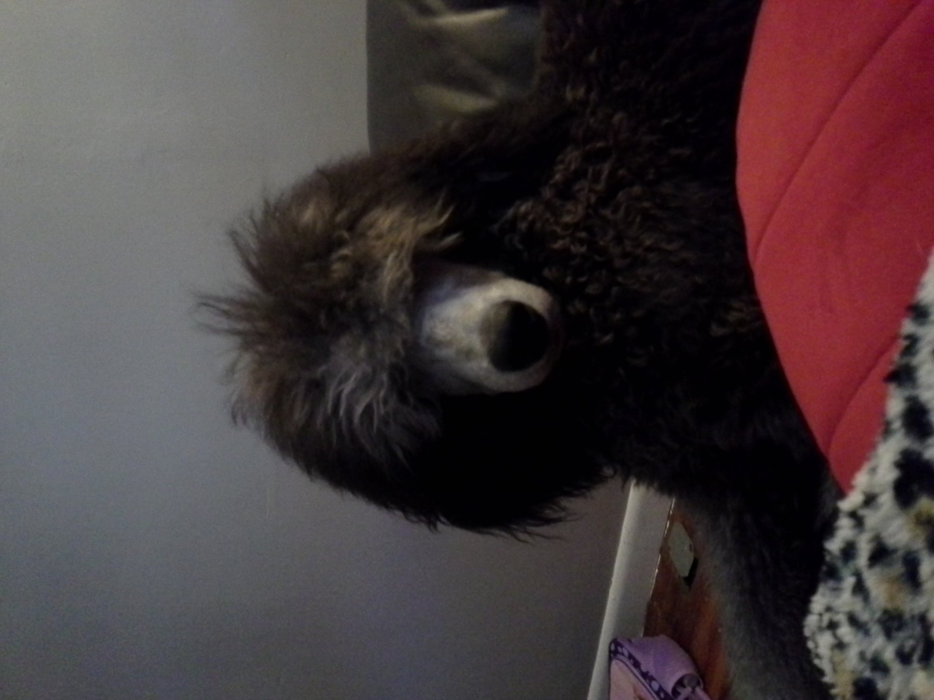 The Silver Poodle Thread-20120917_180248.jpg