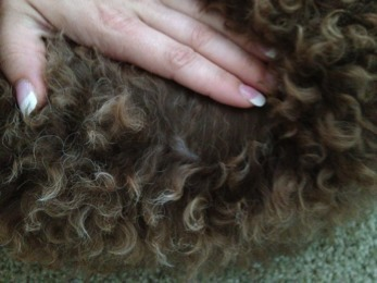 The Brown Poodle Thread-24-wks-fading-back-2.jpg