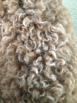 The Brown Poodle Thread-24-wks-fading-back.jpg