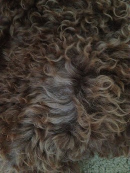 The Brown Poodle Thread-24-wks-fading-leg-2.jpg
