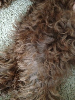 The Brown Poodle Thread-24-wks-fading-leg.jpg