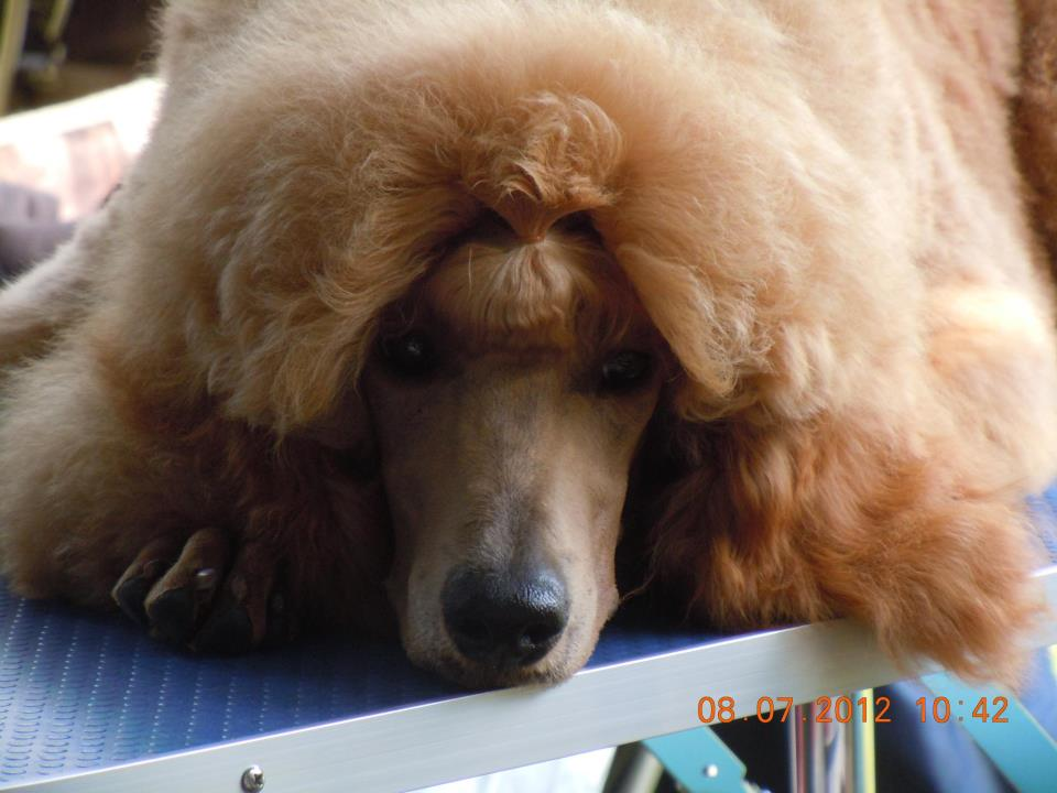 Favorite poodle color?-386813_10151152839742184_521159935_n.jpg