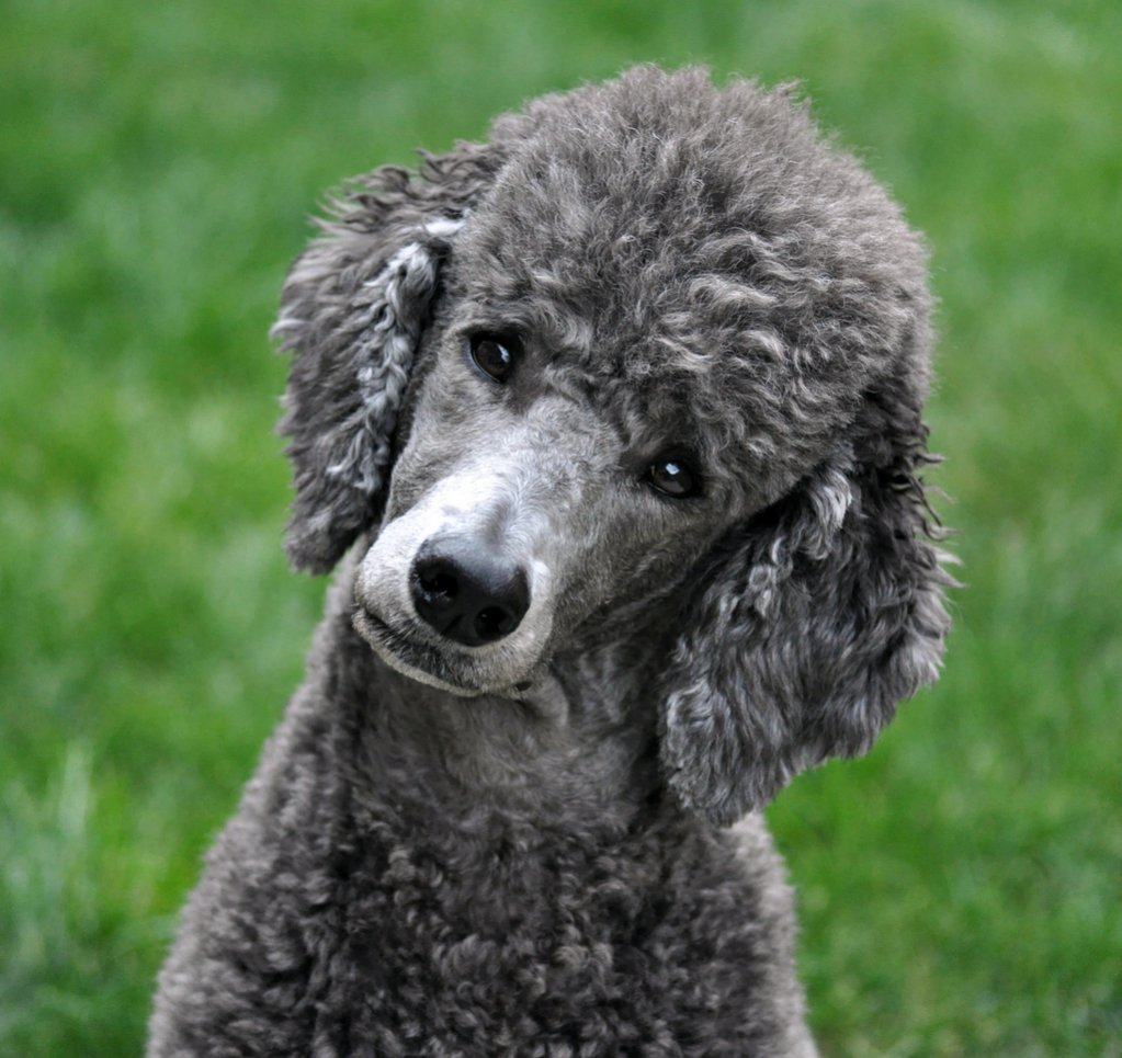 Is there anything cuter than the poodle head-tilt?-4009973546
