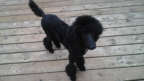 How to train a poodle to like water?-60853691_338945647016728_2572724043534827520_n.jpg