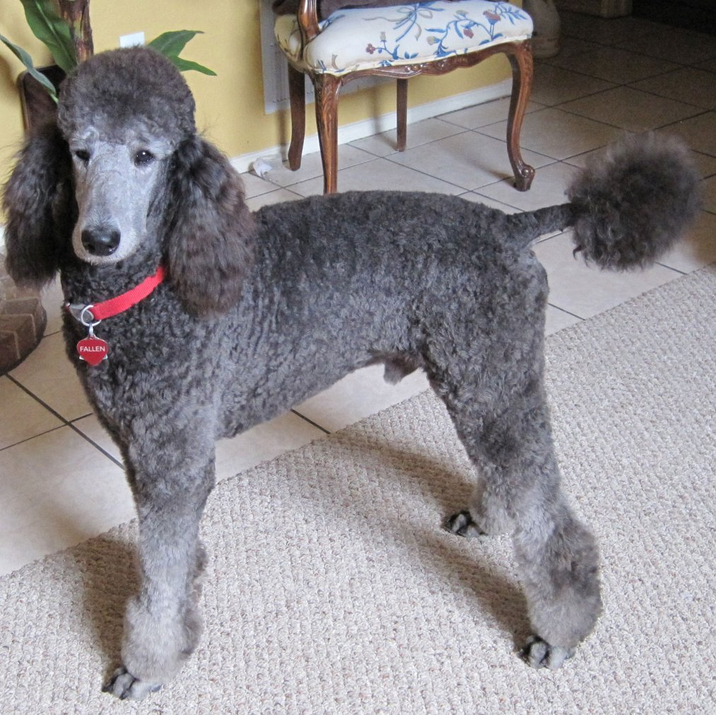 Displaying 18> Images For - Teddy Bear Poodle Haircuts...
