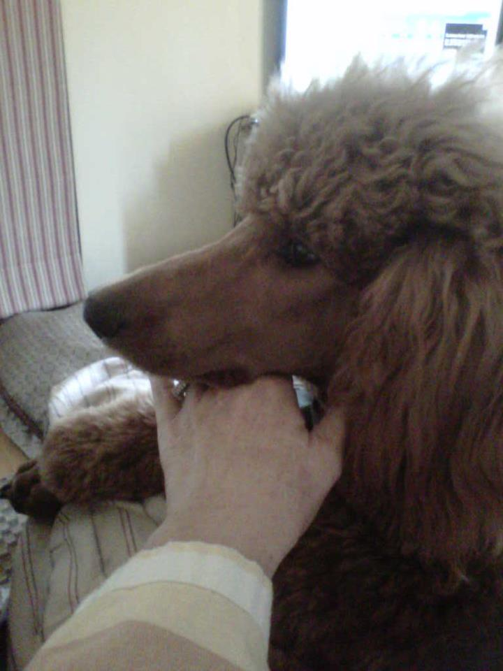 The Red Poodle Thread-angus.jpg